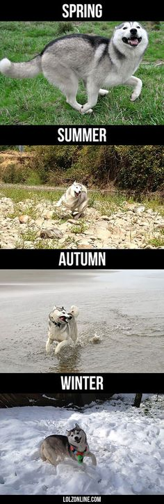 Husky During Different Seasons#funny #lol #lolzonline
