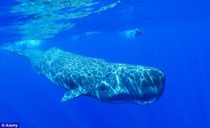 Protein in their blood explains why Sperm whales can dive in deep waters without need for air.