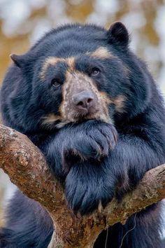 Ursidae - caniformia - Spectacled Bear