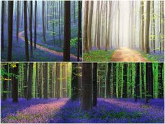 Forest Freak. The forest is called Hallerbos and is located in Belgium in the municipality of Halle. It covers an area of 5.5 square kilometres, and in the spring time the forest floor is blanketed with beautiful bluebells.   The bluebell carpet spreads as far as the eye can see, circling around the slender beech trees, running into the valleys and massing around the creeks. Photos courtesy of Kilian Schönberger. Via The Earth Story