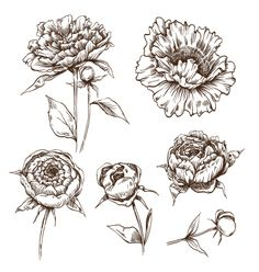 Hand+drawn+peony+flowers+set+vector+1446039+-+by+Roman84 on VectorStock®