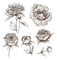 Hand+drawn+peony+flowers+set+vector+1446039+-+by+Roman84 on VectorStock®