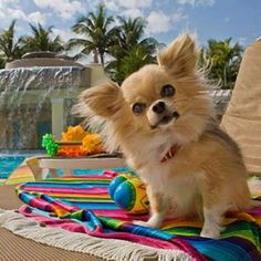 The Cutest Long-Haired Chihuahua Pictures