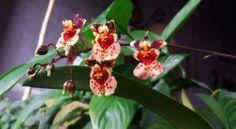Orchid Tolumnia