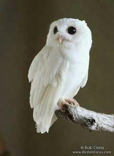 Albino Eastern Screech Owl
