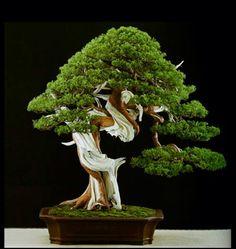 Amazing bonsai styled by Marco Invernizzi.