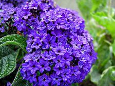 Purple Heliotrope. This stuff smells AMAZING
