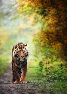 Tiger on a trail by eric c. on 500px.