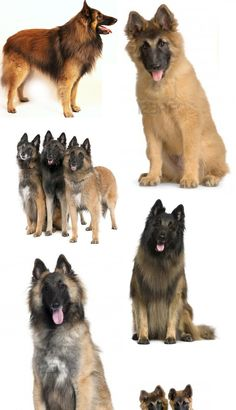 Good Cuby Chubby Adorable Dog - a90ef35015ed65b68fd34a0ef75c2f71--belgian-shepherd-shepherd-dogs  Collection_131513  .jpg