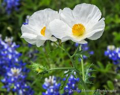 Wild Poppies by DMoutray - Denny Moutray Photography, via Flickr