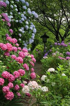 Hydrangea garden ~ for those of you new to gardening, hydrangea are perennial (come back every year) and the color of their blooms (pink, blue, or purple) is determined by the pH of the soil...which can be adjusted by YOU. Now how fun is that?!