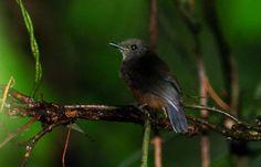 Uirapuru-de-garganta-preta (Thamnomanes ardesiacus)