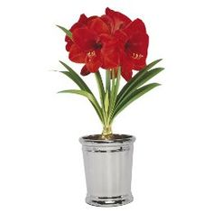 """Amaryllis growing kits are available at most nurseries and even at Target. Pictured here is a """"Red Lion"""" Amaryllis, Smith and Hawken Grow Pot in silver, available at  www.target.com or in stores for the very reasonable price of $8.00."""