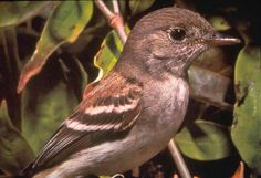 The southwestern willow flycatcher (Empidonax traillii extimus) was once common along rivers and streams but habitat loss and nest parasitization by cowbirds has caused populations to plummet.