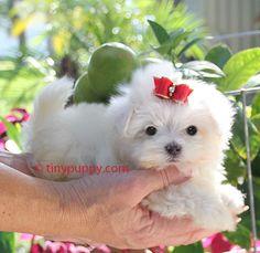 Teacup Maltese puppy for sale in California. Maltese