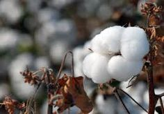 Image result for agronomist in cotton field