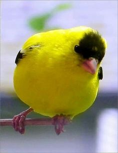 American Goldfinch (Carduelis Tristis), also known as the Eastern Goldfinch. The Wild Canary is a small North American bird from the Finch family. I Like Birds, Kinds Of Birds, All Birds, Cute Birds, Pretty Birds, Little Birds, Beautiful Birds, Animals Beautiful, Exotic Birds