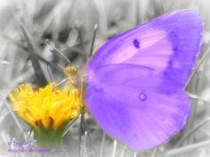 Moth on Dandelion in Park  By Maureen McDonald