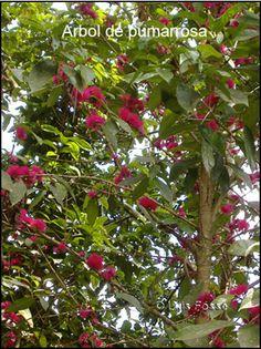 Datos-fotos-Arboles nativos- endémicos y oriundos de Puerto Rico beneficios de los arboles.Redescubren varias especies de árboles y plantas boricuas