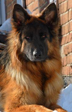 Siena vom Grunwald Haus  Long Coat German Shepherd Dog