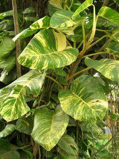 A Jibóia (Epipremnum pinnatum) é uma planta semi-herbácea e de hábito trepador (epífita), pertence à família das Aráceas, onde encontramos ...