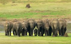 #Asian #elephants live in a variety of habitats. They prefer a combination of grassland, shrubbery, and #forest. find these #maleficent creatures in the #corbett.