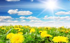 http://www.kwiatki.org/kwiaty/wiosna-mniszek-niebo-aka-pospolity.jpeg