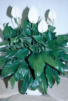 spathiphyllum pour chien chat rongeur cette plante d 39 int rieur aux 30 vari t s est toxique. Black Bedroom Furniture Sets. Home Design Ideas