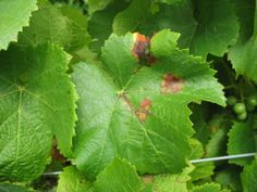 Downy Mildew of Grape Garden Solutions, Humid Weather, Downy, Weather Conditions, Grape Vines, Plant Leaves, Backyard, Flowers, Plants