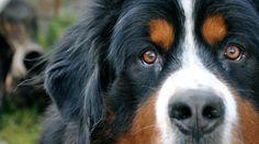 Cómo saber si mi perro tiene asma # El asma, aunque no es una enfermedad muy frecuente en perros, puede disminuir la calidad de vida de los animales a menos que se trate. Por este motivo, te vamos a explicar cómo saber si ... »