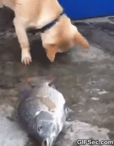 Dog helping fish GIF - This is actually so sad. He is trying desperately to help the fish live & doesn't get why the human won't help. How does he know that fish need water to live? They are so much smarter than we give them credit for. All animals communicate. We just don't hear it.