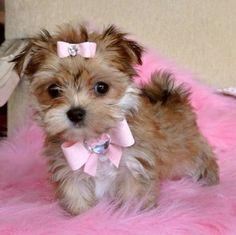 teacup morkie My dream puppy!