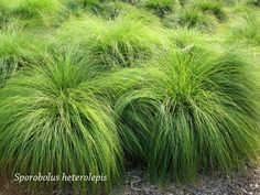 Sporobolus heterolepis -  Prairie Dropseed - Ornamental grass  Some love the fragrance of this plant, others hate it. Smell before you buy. If you like it however, you have found one of the best performing grasses for your garden.
