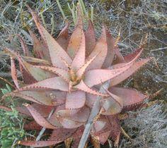 Photos of South African Plants - Category: Aloe - Image: Aloe microstigma leaf rosette