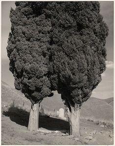 Ansel Adams. Poplars, Cemetery near Mount Diablo, California, 1960.