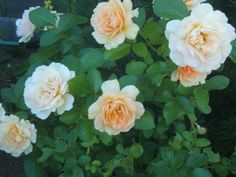 Learn how to prune your roses for better blossoming.