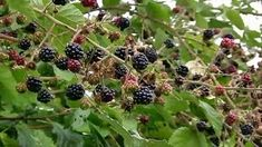 The blackberry is an edible fruit made by any of several species in the Rubus genus of the Rosaceae family. Healthy Fruits, Preserves, Blackberry, Harvest, Berries, Organic, Canning, Chalk Board, Food