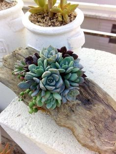 A posy of succulents. And like it being off-centre in the driftwood
