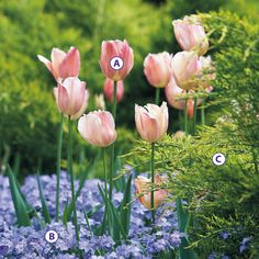 """tulip """"Stunning Apricot"""",  woodland phlox, juniper. Very pretty combo to plant this fall."""