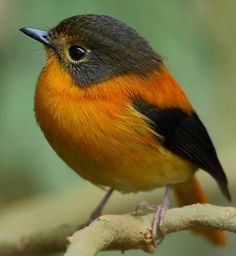 Black& Orange flycatcher- female Sims-oottakmandi- Save our nature Cute Birds, Small Birds, Pretty Birds, Little Birds, Colorful Birds, Beautiful Birds, Animals Beautiful, Cute Animals, Beautiful Life