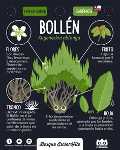 Bollén , Kageneckia Oblonga #floranima #esclerofilo #bosqueesclerofilo #flora #chile #bollen #infografia #infographic #ilustracion #illustration #planta #plant #botanica #botanical