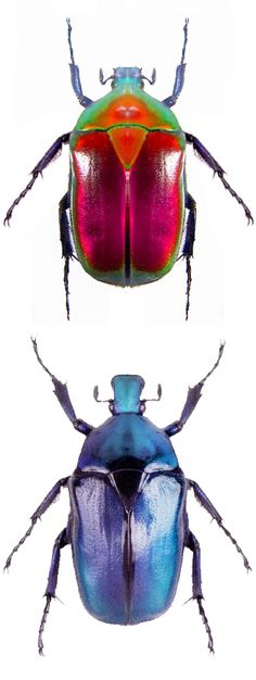 Torynorrhina flammea, red and blue form- Thailand Size: 3 cm
