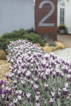 Lavandula 'Ghostly Princess' - stunning year round silver foliage, adding a modern style and feel to any home Brown Mulch, Mixed Border, Purple Petunias, Border Plants, Lavandula, Yard Design, Lavender Flowers, Flower Beds, Shrubs