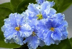 African Violet Saintpaulia '' IAN Metelitsa '' Young Plant   eBay