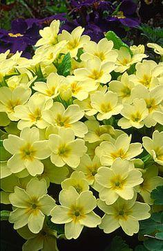 Primroses in Spring ....