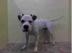 Manhattan Center   ROCKY - A0996821   MALE, WHITE / BLACK, PIT BULL MIX, 2 yrs, 4 mos STRAY - EVALUATE, NO HOLD Reason STRAY  Intake condition NONE Intake Date 04/16/2014, From NY 10461, DueOut Date 04/19/2014,  https://www.facebook.com/photo.php?fbid=788554067824141&set=a.617938651552351.1073741868.152876678058553&type=3&theater