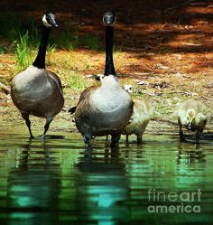 'Family' Fine Art Photography by Mim White Family of Geese on Saltmarsh Pond, Gilford, NH