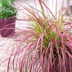 Fountain Grass Fireworks / JUST BECAUSE IT'S BEAUTIFUL! Pennisetum | Ornamental Grasses Add Movement and Four-Season Interest