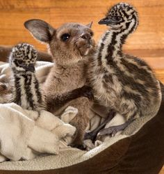 Eli and Edi, a pair of emu chicks born just a few days ago, love cuddling with their new friend/foster brother, an 8-month-old kangaroo joey named Reuben