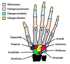 Huesos de la mano (por colores)